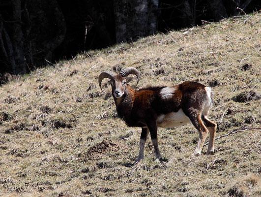 Mouflon mâle au pied du Puy de Sancy - Le Mont Dore - Auvergne - France (Avril 2013)