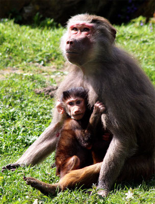 Hamadryas (Papio Hamadryas) - La guenon et son petit
