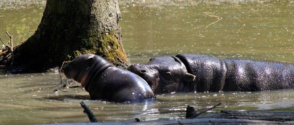 Hippopotames (la mère et son petit)