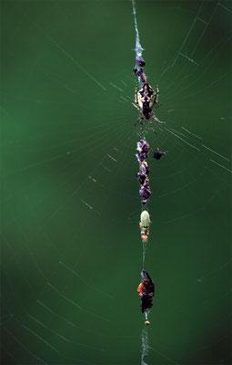 Le garde manger de l'araignée