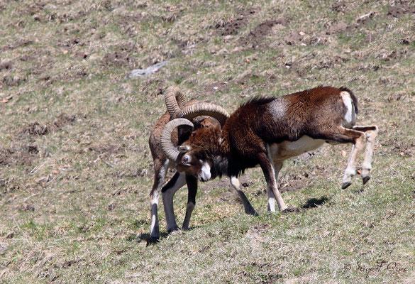 Jeux de mouflons mâles aux Egravats au pied du Sancy - Massif du Sancy - Auvergne - France