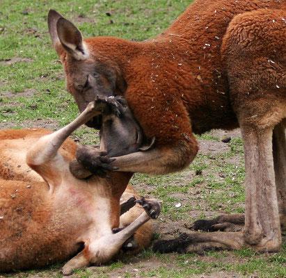 Le baiser des kangouroux