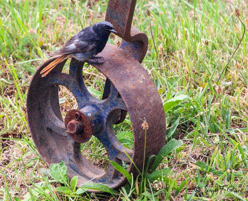 Rougequeue noir (Phoenicurus ochruros), on l'appelle également rossignol des murailles ou queue rousse.