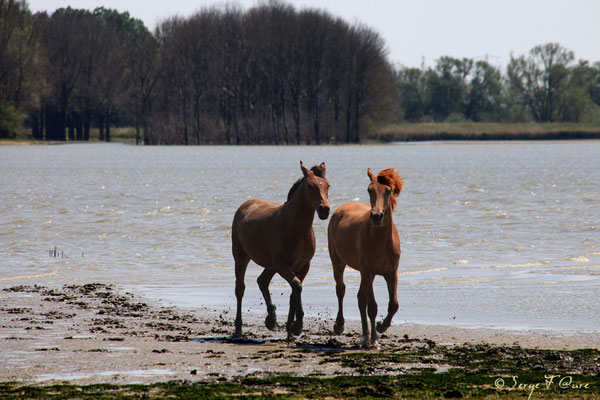 Chevaux - Nationaal Park De Biesbosch - Pays Bas - Juin 2011
