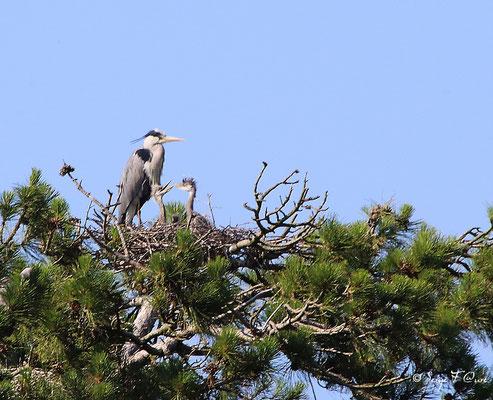 Héron cendré et ses petits (Ardea cinerea - Grey Heron) - Parc ornithologique du Marquenterre - St Quentin en Tourmon - Baie de Somme - Picardie - France