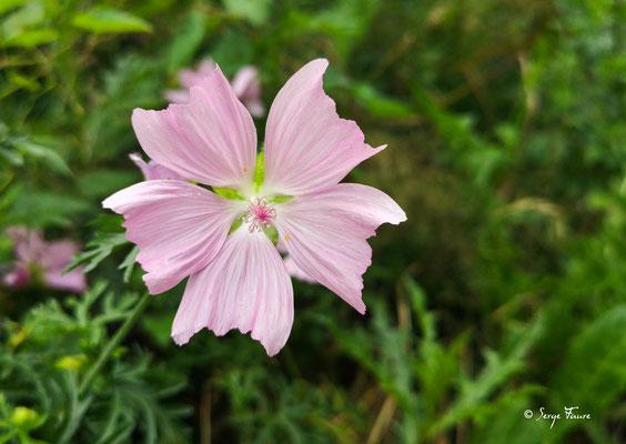 La Mauve musquée (Malva moschata, L.) est une plante herbacée vivace de la famille des Malvacées.