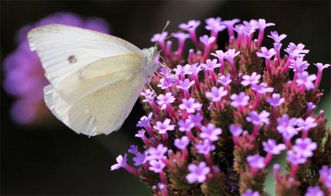 Papillon (lépidoptère)
