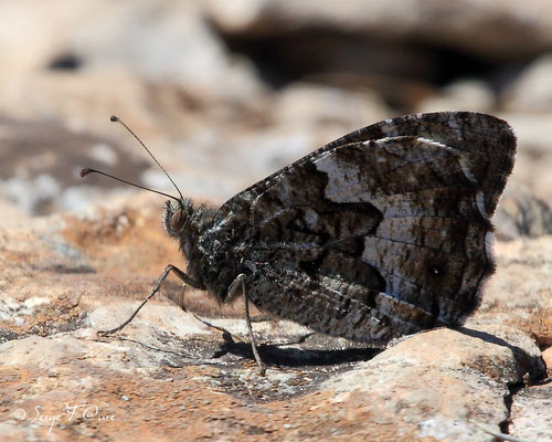 Mercure ou petit Agreste - Arethusana arethusa - Papillon (lépidoptère)