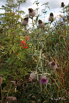 Cirse laineaux - Chardon laineux (Cirsium eriophorum)