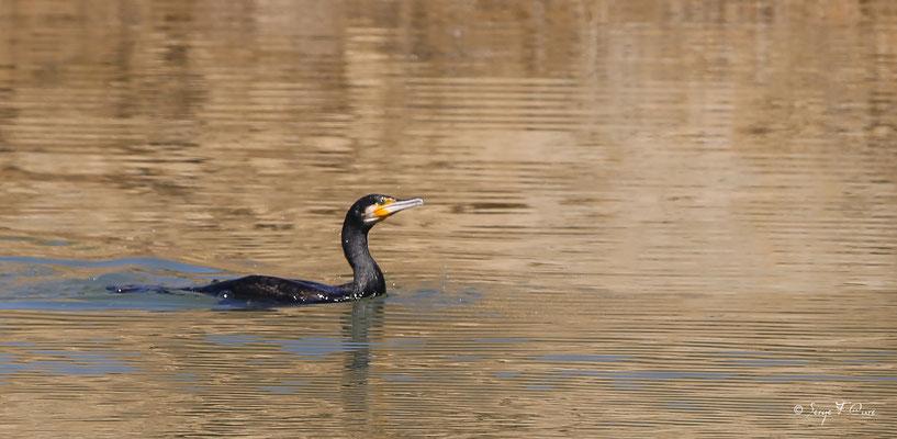 L'envol du cormoran (Phalacrocorax carbo)