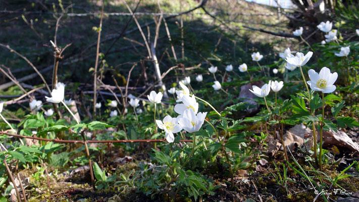 Anémone sylvie (Anémone nemorosa) - floraison avril sur le chemin des - Murat le Quaire - Massif du Sancy - Auvergne - France