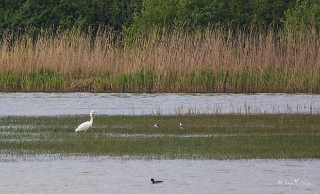 Aigrette garzette (Egretta garzetta)  - Parc ornithologique du Marquenterre - St Quentin en Tourmon - Baie de Somme - Picardie - France