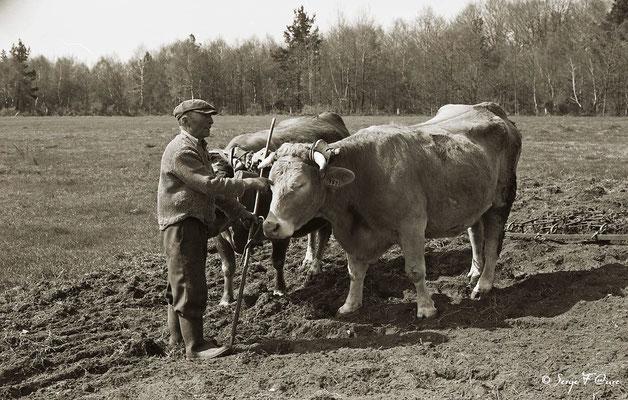 """""""Les vaches et l'homme"""" - Paysans au champ avec les bœufs - 1979 - Auvergne - France"""