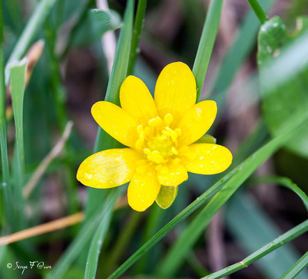 Ficaire - Fausse Renoncule (Ranunculus ficaria) - floraison avril