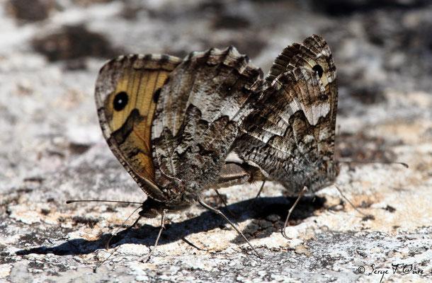 Mercure ou petit Agreste - Arethusana arethusa - L'accouplement du papillon (lépidoptère)