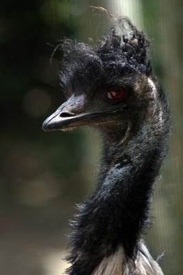 Emeu (Dromaius novaehollandiae)