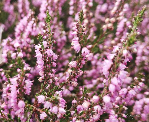 La Callune (Calluna vulgaris Hull.) est une espèce de chaméphytes ou nanophanérophytes sempervirents et le seul représentant du genre Calluna (famille des Ericaceae). C'est la fleur nationale de la Norvège.  Cette plante vivace est parfois appelée Béruée,