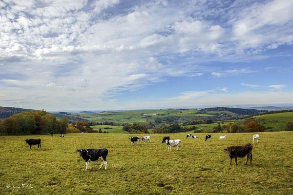Vaches sur la route du Guéry -  Prairie au niveau du lac Servière - Massif du Sancy - Auvergne - Massif du Sancy - Auvergne - France