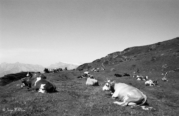 Vaches Montbéliardes - Val d'Hérens - Le Valais - Suisse