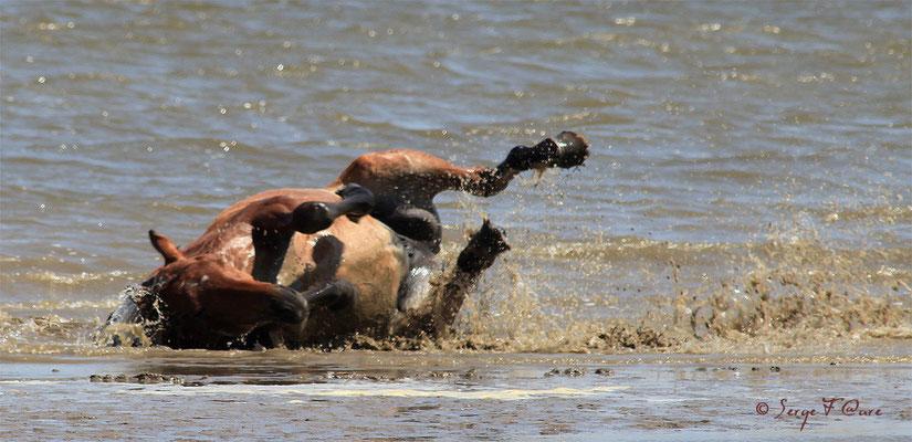Roulade de cheval dans la mer - Nationaal Park De Biesbosch - Pays Bas - Juin 2011