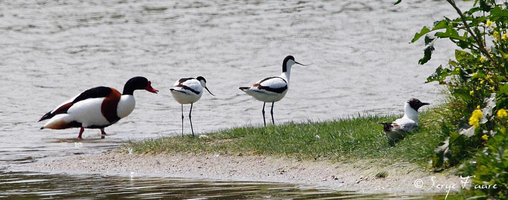 Tadorne de Belon (Tadorna tadorna - Common Shelduck) et Avocettes élégantes (Recurvirostra avosetta - Pied Avocet) - Parc ornithologique du Marquenterre - St Quentin en Tourmon - Baie de Somme - Picardie - France