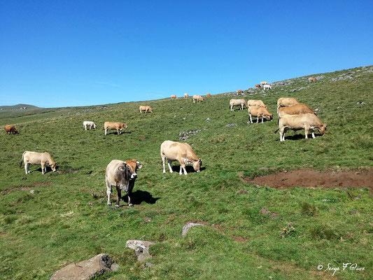 Troupeau de vaches sur le plateau de l'Aubrac - En allant vers Aubrac - France - Sur le chemin de St Jacques de Compostelle (santiago de compostela) - Le Chemin du Puy ou Via Podiensis (variante par Rocamadour)