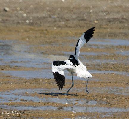 Avocette élégante jouant avec le vent (Recurvirostra avosetta) - Anciens marais salants à la Sansouïre (Frontignan - Hérault - France)