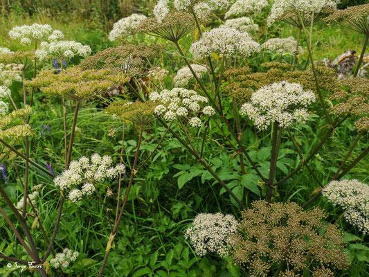 La Ciguë tachetée ou Grande Ciguë est une plante herbacée bisannuelle de la famille des Apiacées. Très toxique, elle était à la base du poison officiel des Athéniens, pour les condamnés à mort. La plus célèbre victime fut le philosophe Socrate.