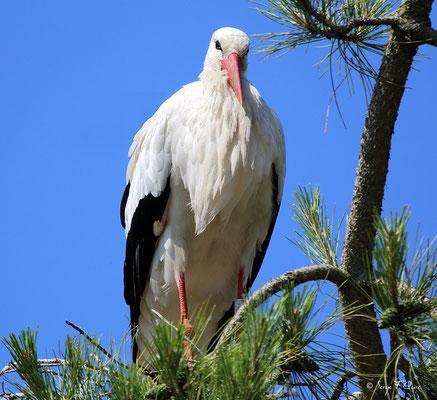 Cigogne blanche (Ciconia ciconia - White Stork) - Parc ornithologique du Marquenterre - St Quentin en Tourmon - Baie de Somme - Picardie - France