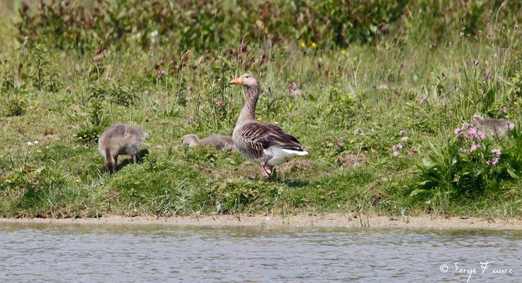 Oie cendrée et ses petits (Anser anser - Greylag Goose) - Parc ornithologique du Marquenterre - St Quentin en Tourmon - Baie de Somme - Picardie - France
