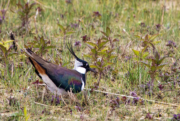 Vanneau huppé (Vanellus vanellus - Northern Lapwing) - Parc ornithologique du Marquenterre - St Quentin en Tourmon - Baie de Somme - Picardie - France