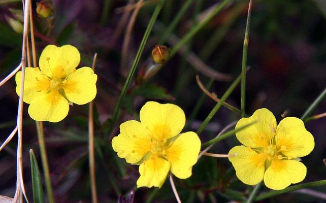 Roquette sauvage ou Roquette jaune - Diplotaxis à feuilles étroites (Diplotaxis tenuifolia)