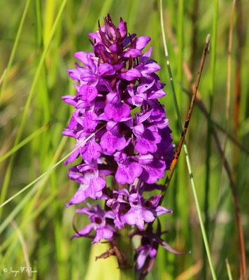 Orchidée sauvage (Orchis mascula) - Parc ornithologique du Marquenterre - St Quentin en Tourmon - Baie de Somme - Picardie - France