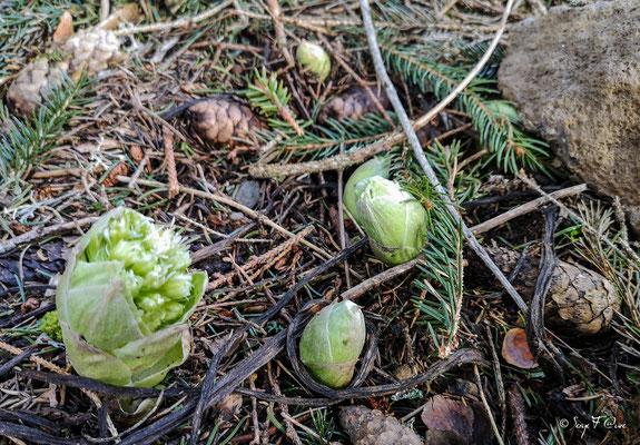 Pétasite blanche (Pétasites albus) floraison février/avril
