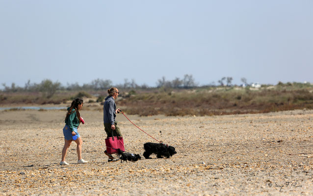 Promenade canine sur la plage - Les Saintes Maries de la Mer - Camargue - Bouches du Rhône - France