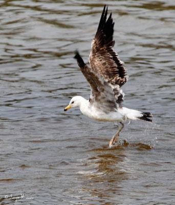 Goëland argenté juvénile (Larus argentatus - European Herring Gull) - Parc ornithologique du Marquenterre - St Quentin en Tourmon - Baie de Somme - Picardie - France
