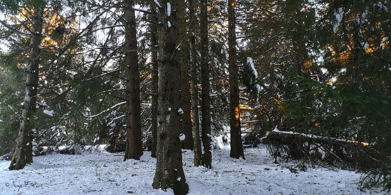 Coucher de soleil sur forêts enneigées à Murat le Quaire - Massif du Sancy - Auvergne - France