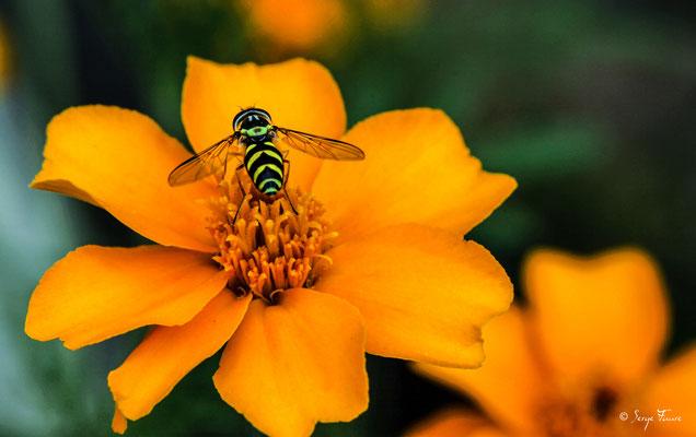"""Le syrphe, une mouche déguisée en guêpe Le syrphe ceinturé (Episyrphus balteatus) appartient à la famille des Syrphidés. Bien qu'il s'agisse d'une mouche, cette espèce est trompeuse et se confond avec la guêpe du fait des """"ceintures"""" jaunes et noires"""