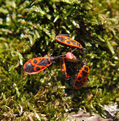 Gendarmes - Pyrrhocore « punaise rouge » - (Pyrrhocoris apterus)
