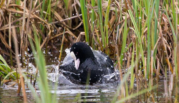 Foulque Macroule (Fulica atra - Eurasian Coot) - Parc ornithologique du Marquenterre - St Quentin en Tourmon - Baie de Somme - Picardie - France