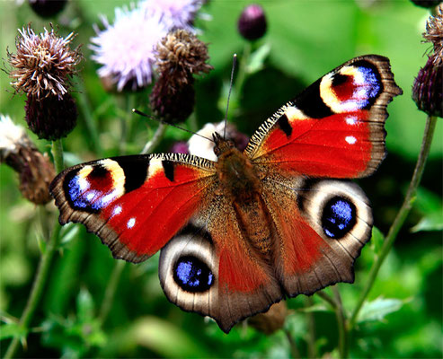 """Papillon (lépidoptère) """"Paon de jour"""" (Inachis io)"""
