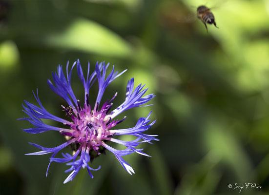 La Centaurée des montagnes, Bleuet des montagnes, ou le Bleuet vivace (Centaurea montana L.)
