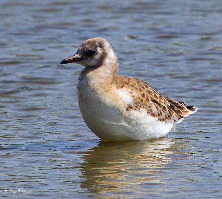 Mouette rieuse  juvénile (Chroicocephalus ridibundus - Black-headed Gull) - Parc ornithologique du Marquenterre - St Quentin en Tourmon - Baie de Somme - Picardie - France