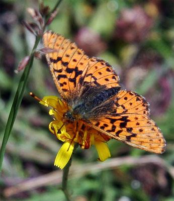 """Papillon (lépidoptère) """"Le Grand Nacré""""  (Argynnis Aglaja)"""