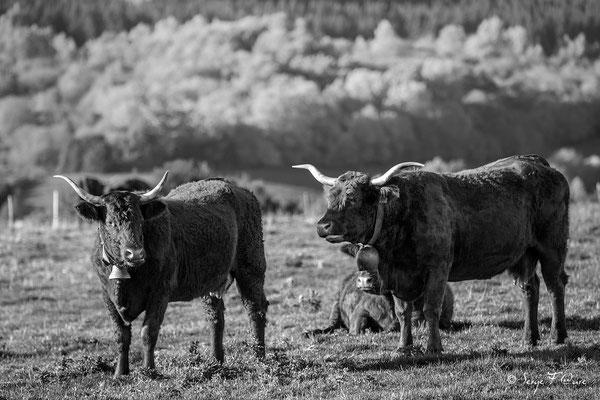 Vaches Salers au champs - Les Croûtes près de Tauves - Massif du Sancy - Auvergne - France