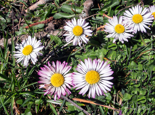 """Pâquerette """"vivace"""" (Bellis perennis) - floraison avril"""