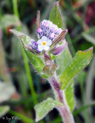 Lycopside des champs (Lycopsis arvensis L.) - face-de-loup