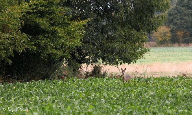 Chevreuil femelle et son petit - Graveron Semerville - Normandie - France