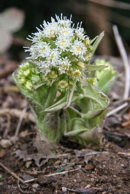 Le pétasite blanc (Petasites albus), est une plante sauvage herbacée vivace de la famille des Astéracées, vivant en milieu humide.