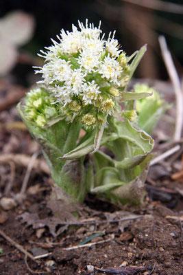 Le pétasite blanc (Petasites albus), est une plante sauvage herbacée vivace de la famille des Astéracées.